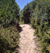 Rock Hyrax, Burghers Walk